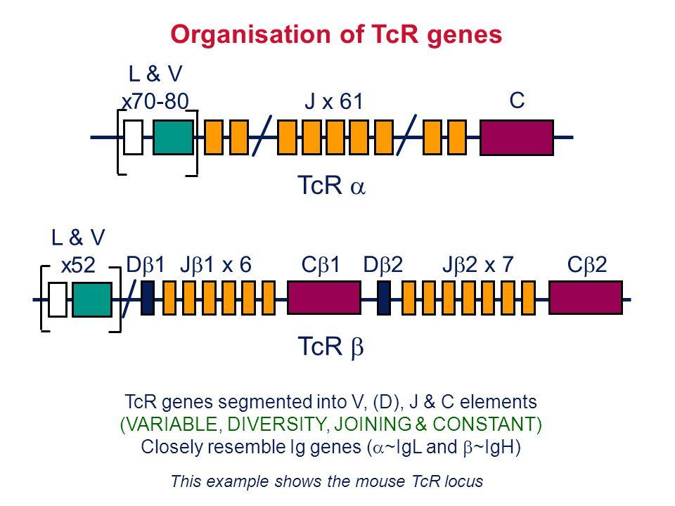TcR  Organisation of TcR genes L & V x70-80 C TcR  D1D1J  1 x 6C1C1D2D2J  2 x 7C2C2 TcR genes segmented into V, (D), J & C elements (VARIA
