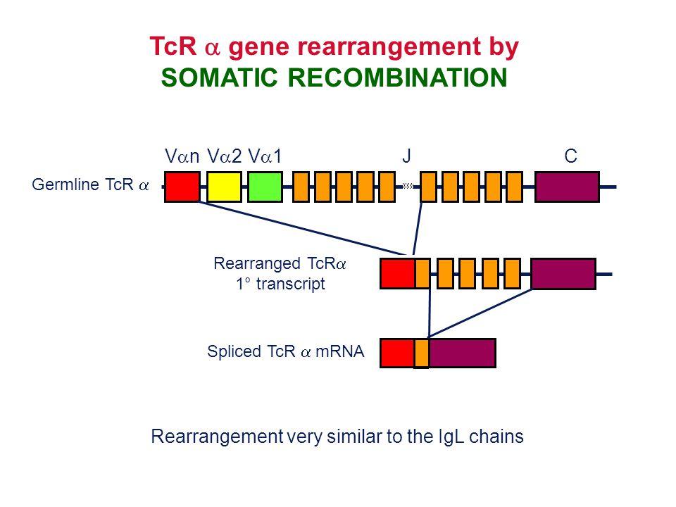 TcR  gene rearrangement by SOMATIC RECOMBINATION Spliced TcR  mRNA Germline TcR  VnVn JC V2V2V1V1 Rearranged TcR  1° transcript Rearrangeme