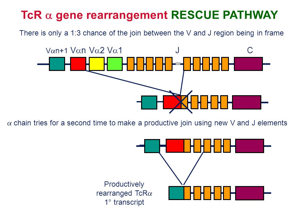 TcR  gene rearrangement RESCUE PATHWAY There is only a 1:3 chance of the join between the V and J region being in frame VnVn JC V2V2V1V1 V  n+
