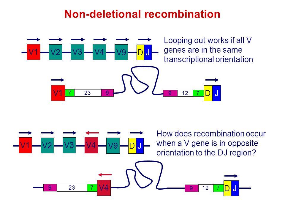 V1 V2 V3V4 V9 DJ Looping out works if all V genes are in the same transcriptional orientation V1 V2 V3 V9 DJ Non-deletional recombination DJ 712 9 V4