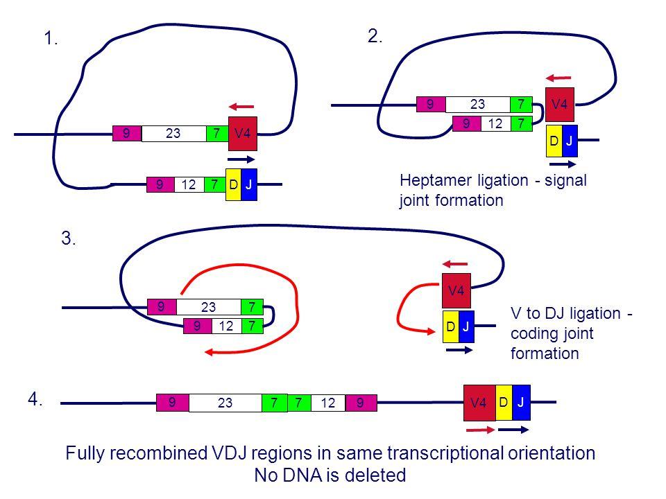 DJ 712 9 V4 723 9 1. DJ V4 712 9 723 9 3. V to DJ ligation - coding joint formation DJ 712 9 V4 723 9 2. Heptamer ligation - signal joint formation DJ