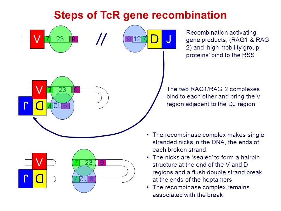 V 723 9 D 712 9 J V 723 9 7 9 712 9 D 7 9 J 723 9 712 9 V D J Recombination activating gene products, (RAG1 & RAG 2) and 'high mobility group proteins