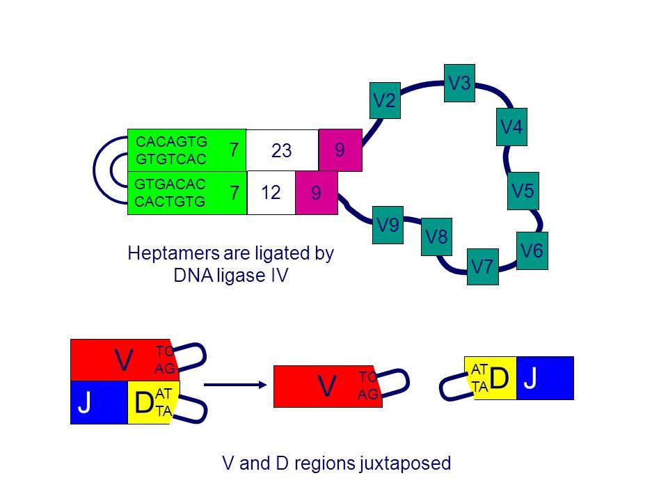 V2 V3 V4 V8 V7 V6 V5 V9 7 23 9 CACAGTG GTGTCAC 7 12 9 GTGACAC CACTGTG V TC AG U DJ AT TA U Heptamers are ligated by DNA ligase IV V and D regions juxt