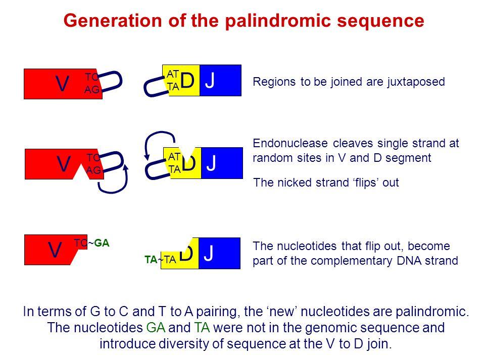 V TC AG U DJ AT TA U Endonuclease cleaves single strand at random sites in V and D segment V TC~GA AG DJ AT TA~TA The nucleotides that flip out, becom