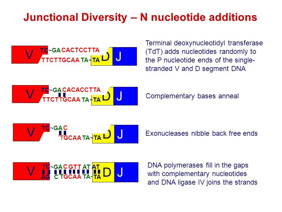 Junctional Diversity – N nucleotide additions V TC~GA AG DJ AT TA~TA Terminal deoxynucleotidyl transferase (TdT) adds nucleotides randomly to the P nu