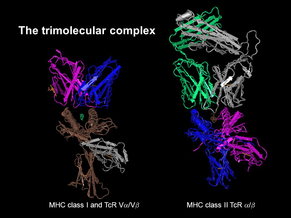 MHC class I and TcR V  /V  MHC class II TcR  /  The trimolecular complex