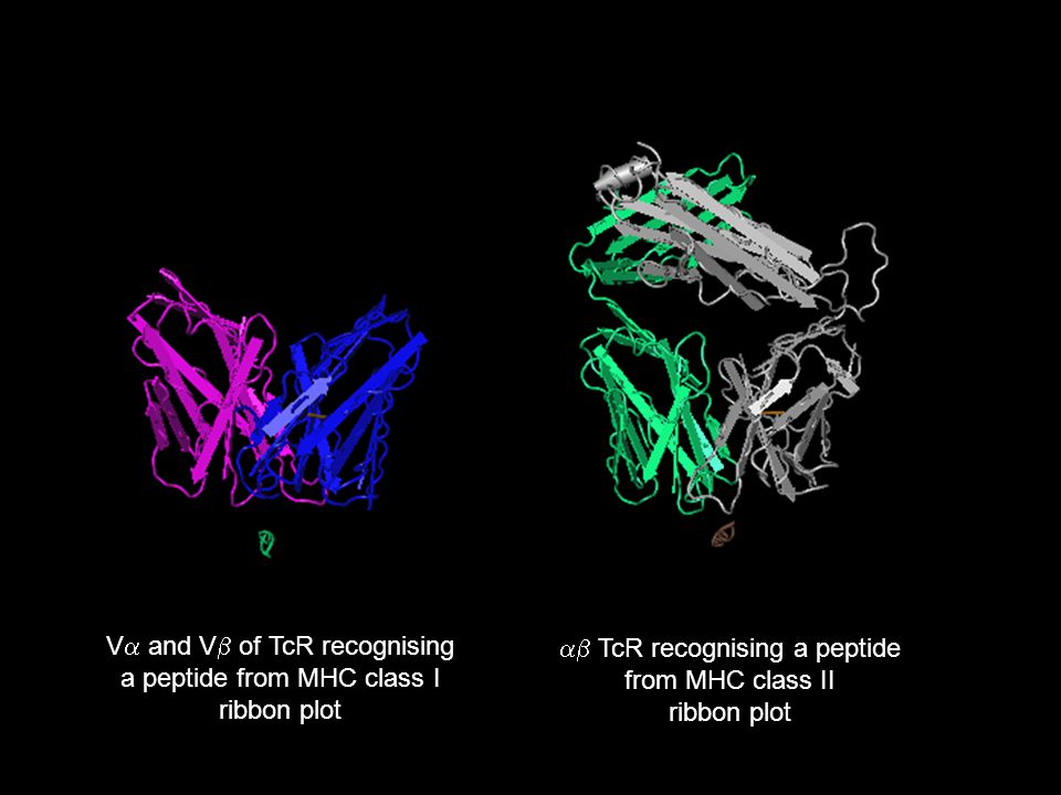 V  and V  of TcR recognising a peptide from MHC class I ribbon plot  TcR recognising a peptide from MHC class II ribbon plot