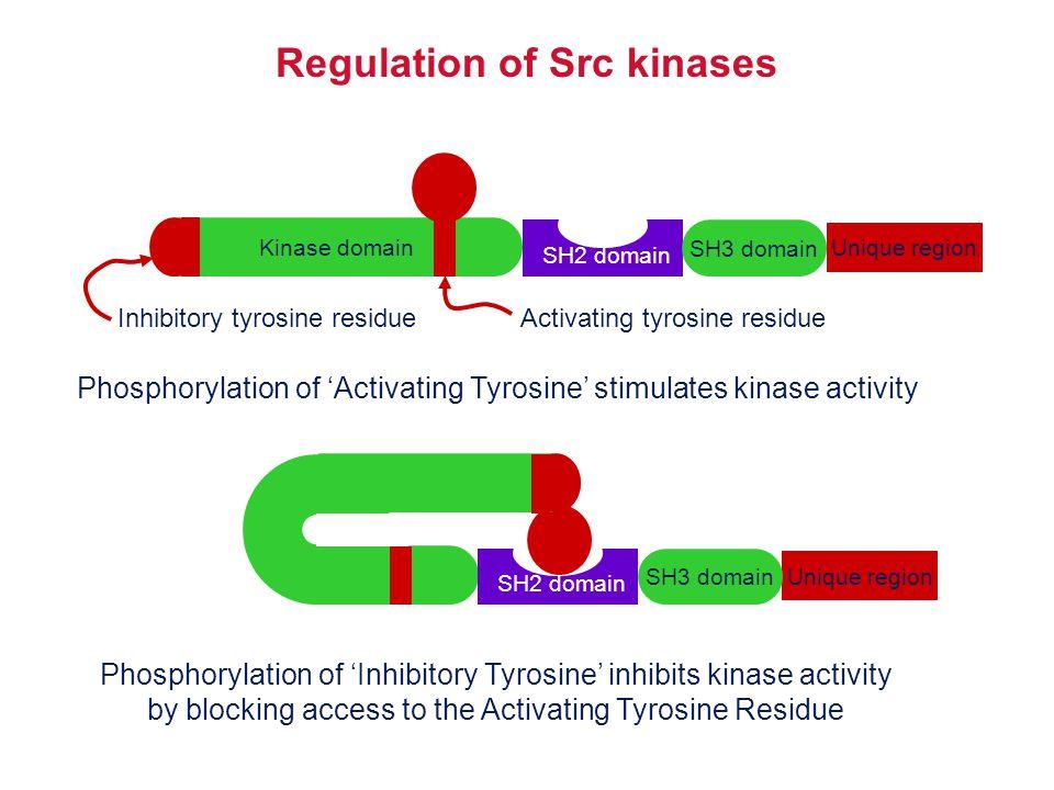 Kinase domain Unique region SH3 domain Regulation of Src kinases SH2 domain Activating tyrosine residueInhibitory tyrosine residue Phosphorylation of
