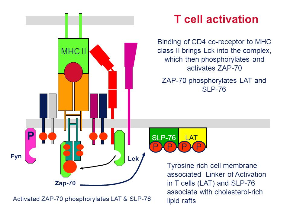 Lck Fyn P MHC II Zap-70 T cell activation Binding of CD4 co-receptor to MHC class II brings Lck into the complex, which then phosphorylates and activa