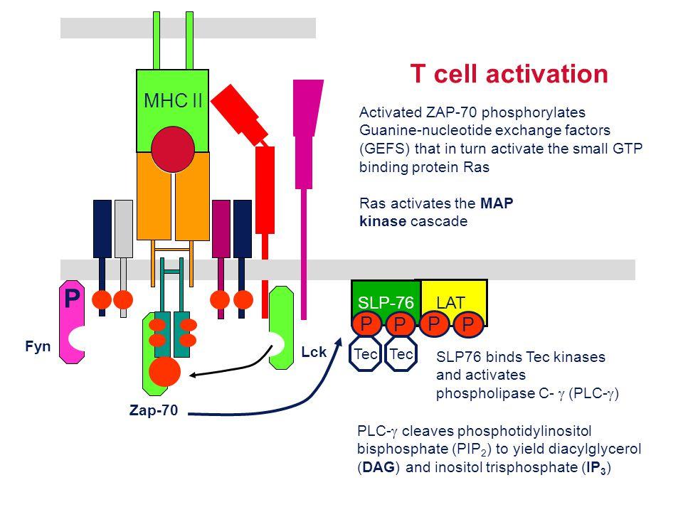 T cell activation Lck Fyn P MHC II Zap-70 LAT SLP-76 P P P P SLP76 binds Tec kinases and activates phospholipase C-  (PLC-  ) Tec PLC-  cleaves pho