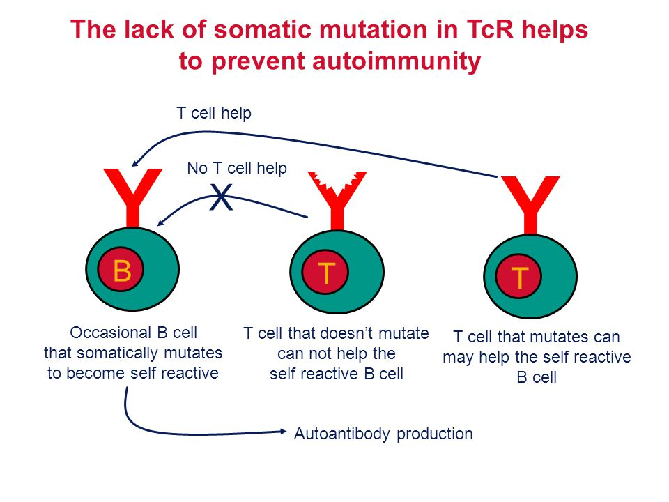 Y B Occasional B cell that somatically mutates to become self reactive T cell that doesn't mutate can not help the self reactive B cell Y T X No T cel