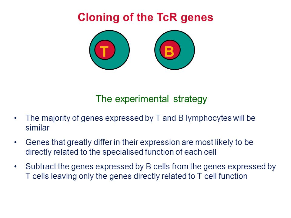 AAAAA Isolate non-hybridising material specific to T cells T cell single stranded cDNA Cloning of TcR genes by subtractive hybridisation B T AAAAA mRNA Discard hybrids AAAAA Digest unhybridised B cell mRNA Clone and sequence T cell- specific genes Hybridise the cDNA and mRNA shared between T and B cells AAAAA