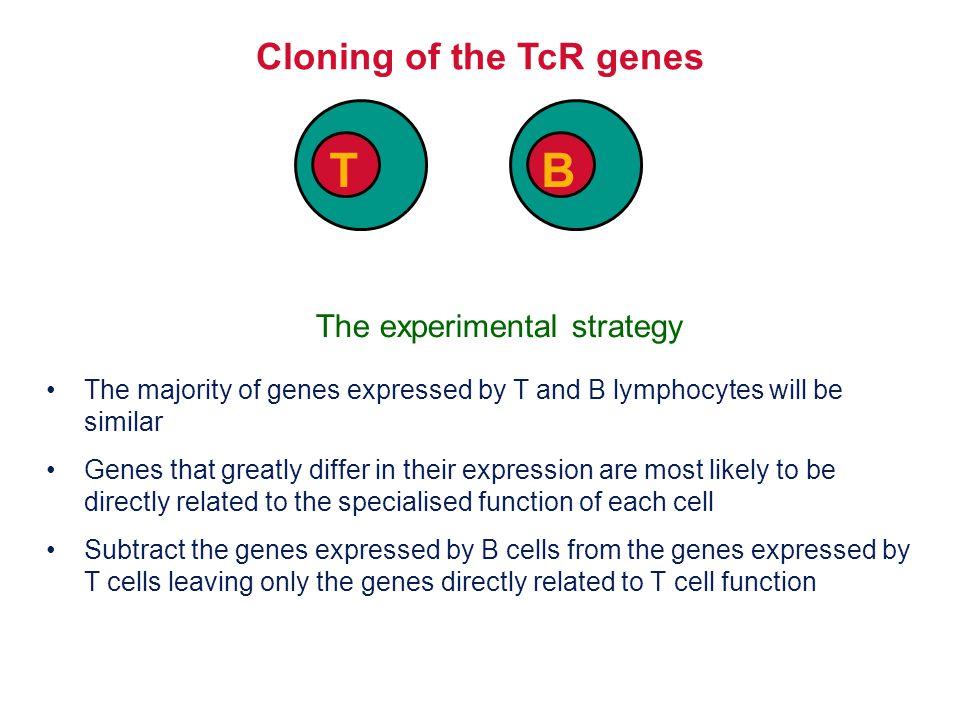 V-D Join D-J join TcR  chain V-J Join TcR  chain Location of junctional diversity Amino acid No.