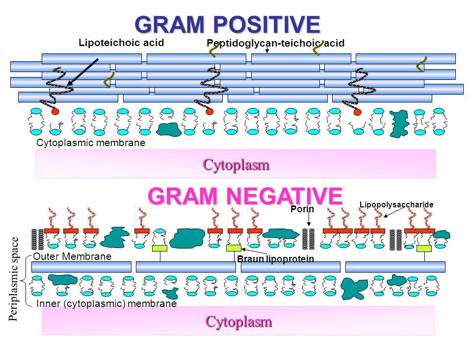 13 GRAM POSITIVE GRAM NEGATIVE Cytoplasm Cytoplasm Lipoteichoic acid Peptidoglycan-teichoic acid Cytoplasmic membrane Inner (cytoplasmic) membrane Out