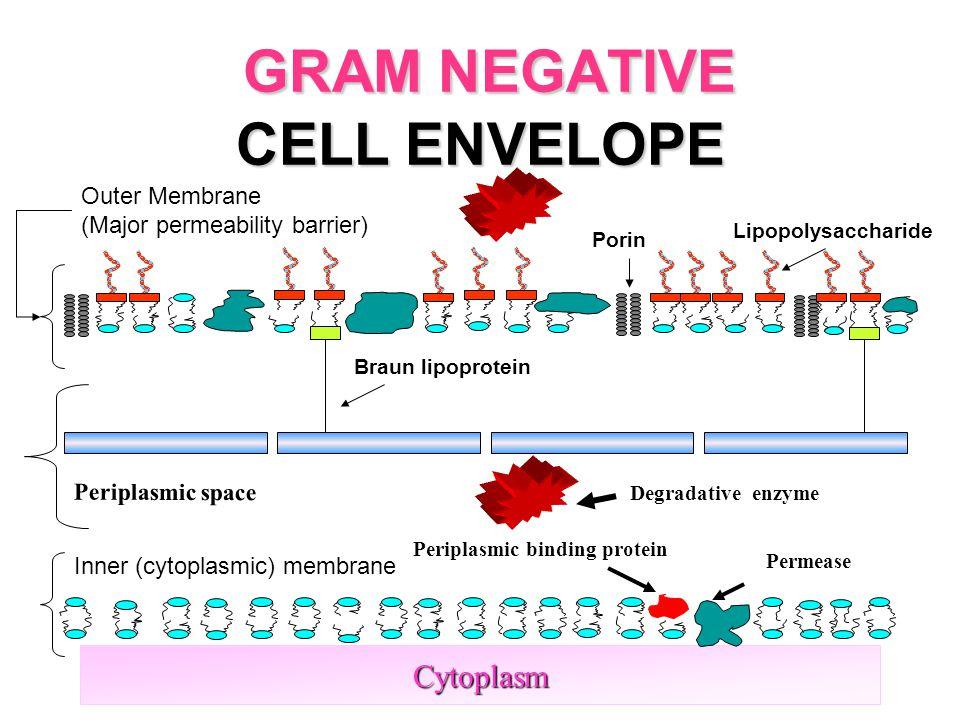 15 GRAM NEGATIVE CELL ENVELOPE Cytoplasm Inner (cytoplasmic) membrane Outer Membrane (Major permeability barrier) Lipopolysaccharide Porin Braun lipoprotein Periplasmic space Degradative enzyme Periplasmic binding protein Permease