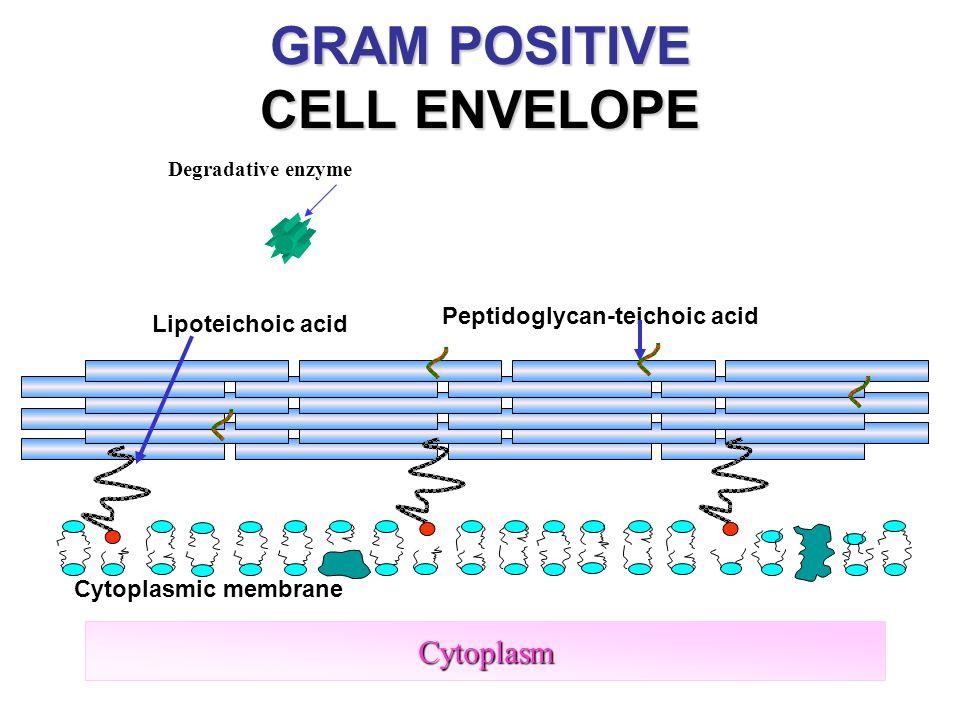 16 Cytoplasm Lipoteichoic acid Peptidoglycan-teichoic acid Cytoplasmic membrane GRAM POSITIVE CELL ENVELOPE Degradative enzyme