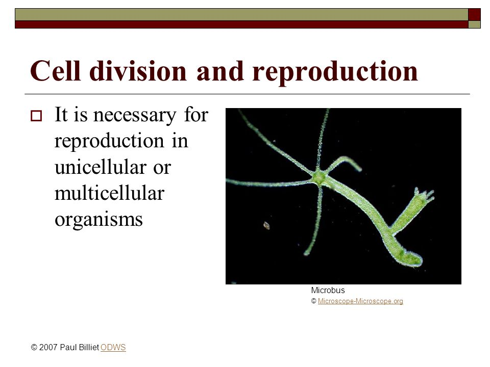 Cell division and reproduction  It is necessary for reproduction in unicellular or multicellular organisms Microbus © Microscope-Microscope.orgMicros