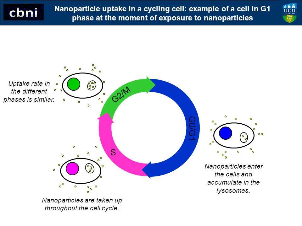 Nanoparticle uptake in a cycling cell: example of a cell in G1 phase at the moment of exposure to nanoparticles S G2/M G0/G1 Nanoparticles enter the c