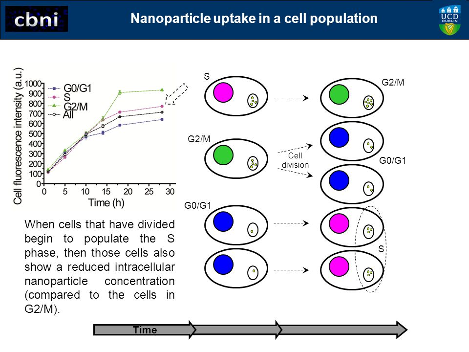 G0/G1 S G2/M Time G0/G1 S G2/M Cell division When cells that have divided begin to populate the S phase, then those cells also show a reduced intracel