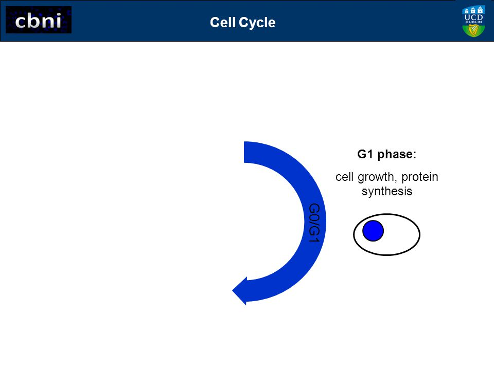 S G0/G1 S phase: DNA synthesis G1 phase: cell growth, protein synthesis Cell Cycle