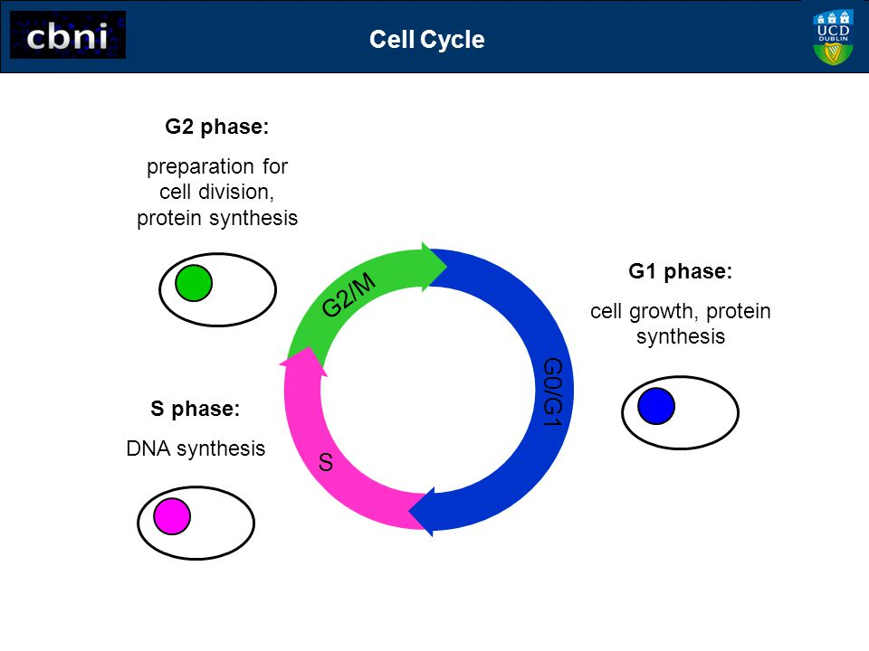 S G2/M G0/G1 G2 phase: preparation for cell division, protein synthesis S phase: DNA synthesis G1 phase: cell growth, protein synthesis Cell Cycle