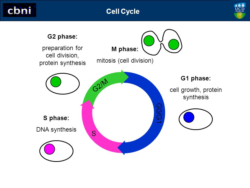 S G2/M G0/G1 Two new daughter cells in G1 phase M phase: mitosis (cell division) G2 phase: preparation for cell division, protein synthesis S phase: DNA synthesis Cell Cycle