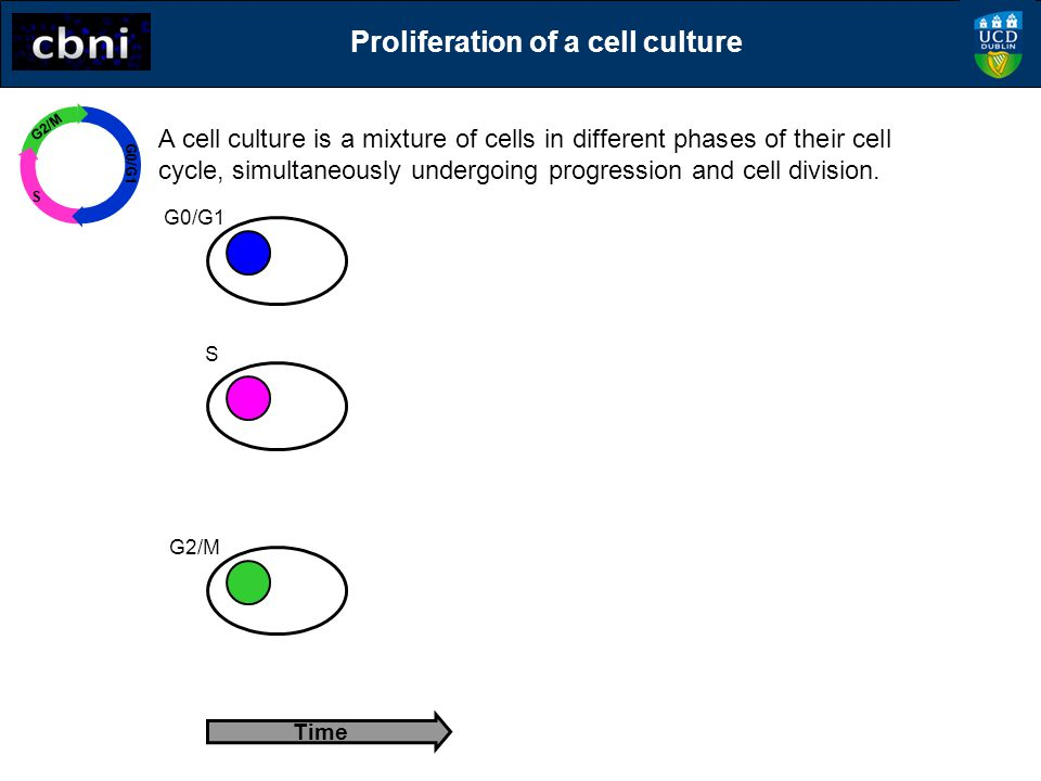 Time A cell culture is a mixture of cells in different phases of their cell cycle, simultaneously undergoing progression and cell division. G0/G1 G2/M