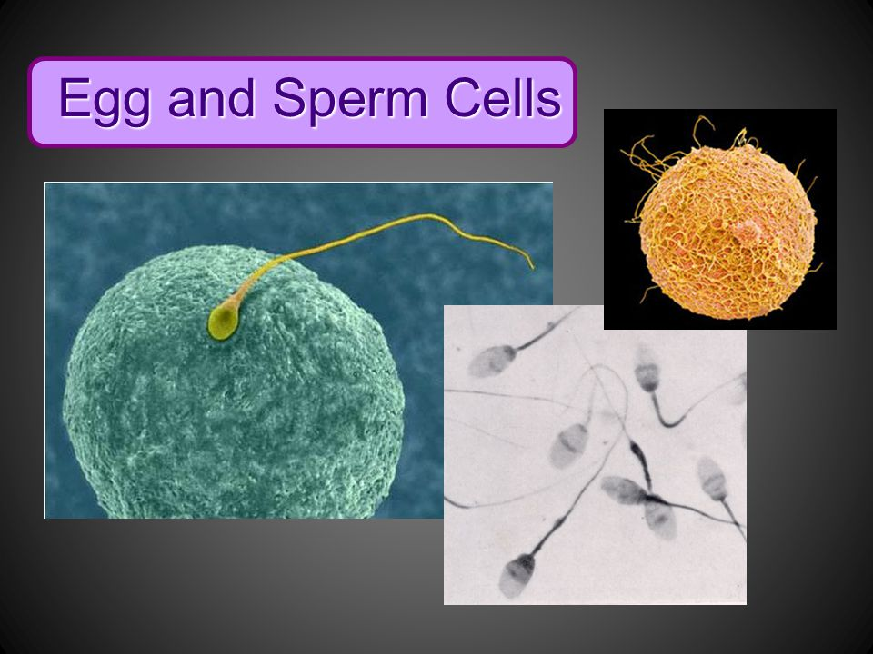Egg and Sperm Cells