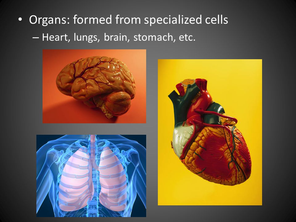Organs: formed from specialized cells – Heart, lungs, brain, stomach, etc.