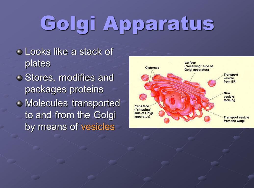 Golgi Apparatus Looks like a stack of plates Stores, modifies and packages proteins Molecules transported to and from the Golgi by means of vesicles