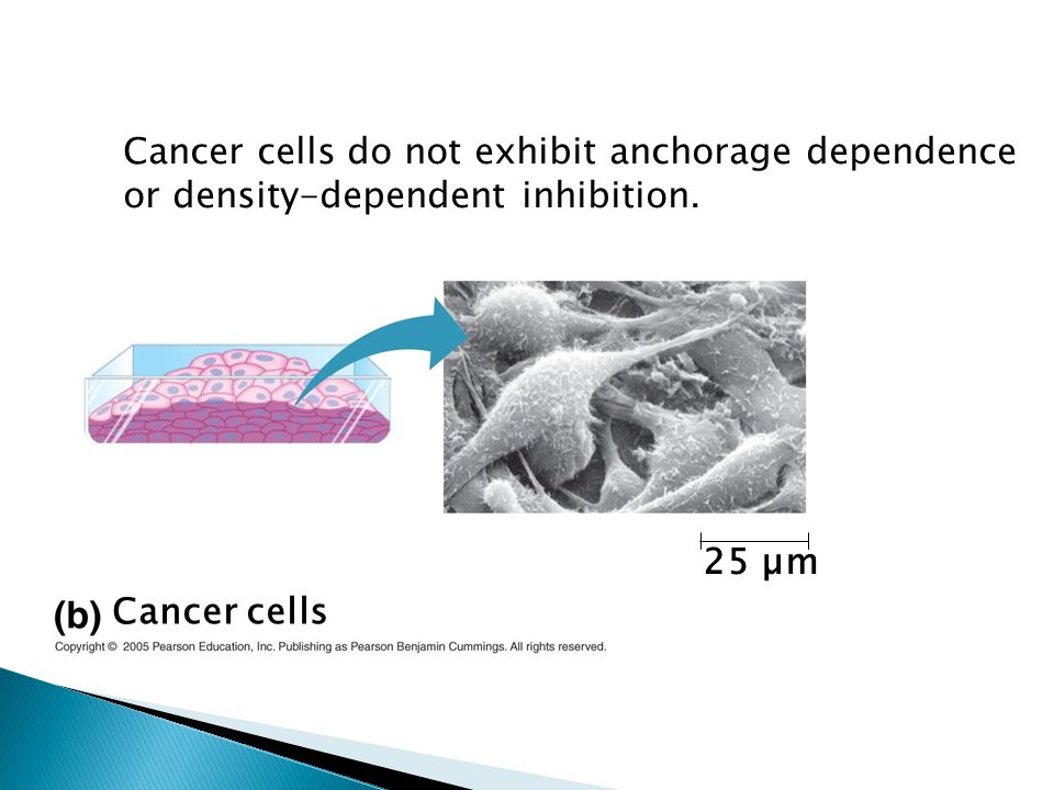 Cancer cells do not exhibit anchorage dependence or density-dependent inhibition.