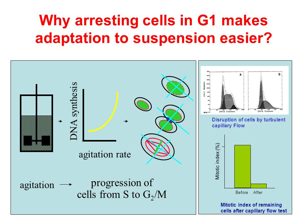 Why arresting cells in G1 makes adaptation to suspension easier? DNA synthesis agitation rate agitation progression of cells from S to G 2 /M Mitotic