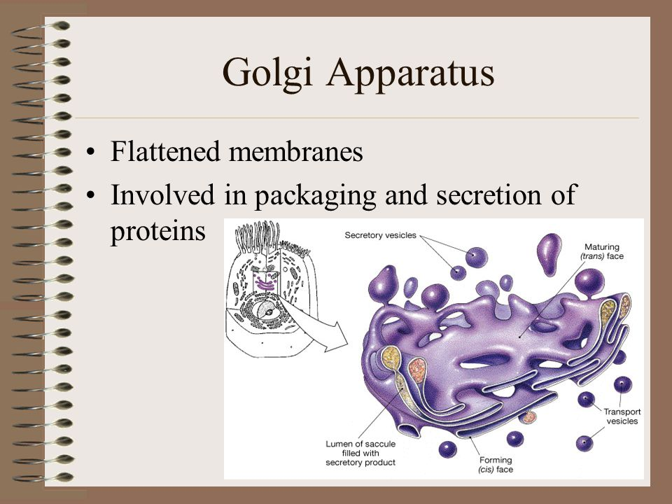 Golgi Apparatus Flattened membranes Involved in packaging and secretion of proteins