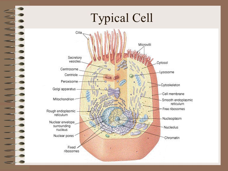 Typical Cell