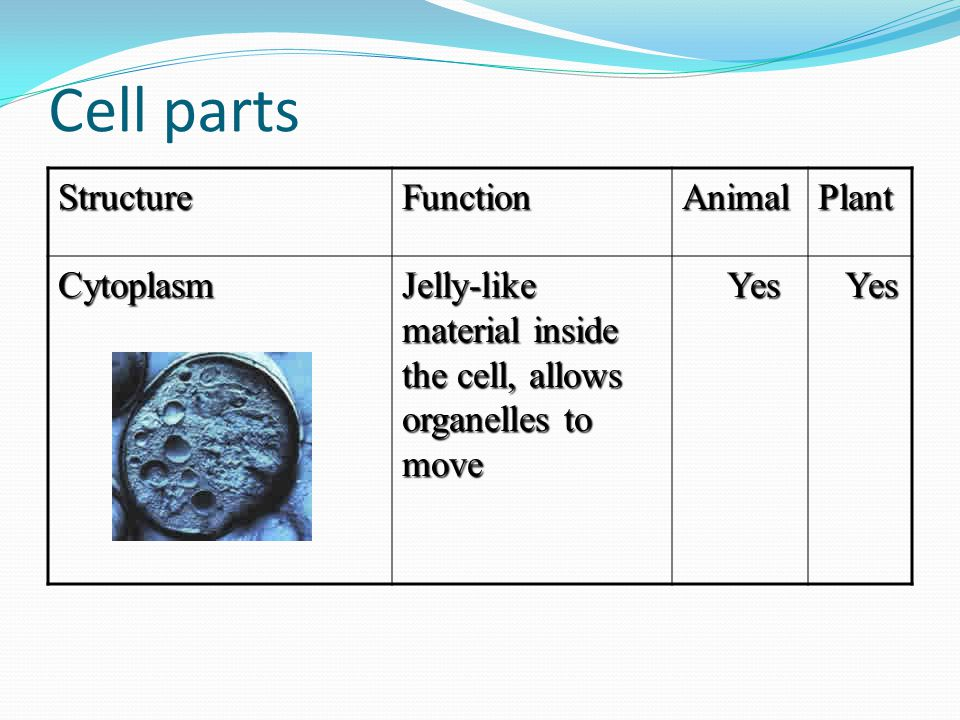 Cell parts StructureFunctionAnimalPlant Cytoplasm Jelly-like material inside the cell, allows organelles to move Yes Yes