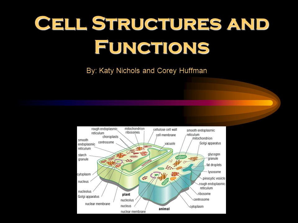 Cell Structures and Functions By: Katy Nichols and Corey Huffman