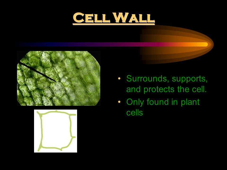 Cell Wall Surrounds, supports, and protects the cell. Only found in plant cells