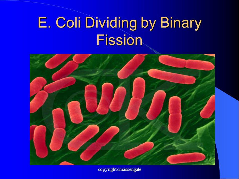 E. Coli Dividing by Binary Fission copyright cmassengale