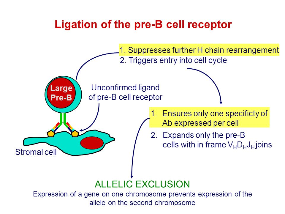 Ligation of the pre-B cell receptor 1.Ensures only one specificty of Ab expressed per cell Large Pre-B Stromal cell Unconfirmed ligand of pre-B cell r