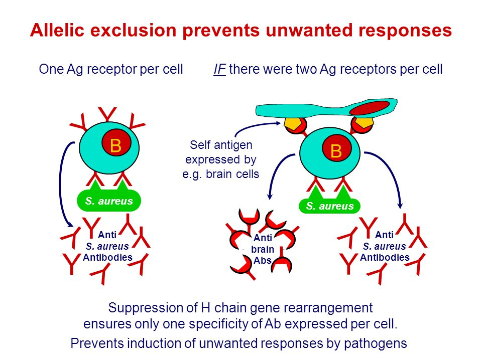 Y Y YY Suppression of H chain gene rearrangement ensures only one specificity of Ab expressed per cell. Allelic exclusion prevents unwanted responses