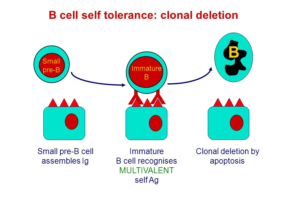 B cell self tolerance: clonal deletion Immature B cell recognises MULTIVALENT self Ag B Clonal deletion by apoptosis Y Y B Immature B B Small pre-B Sm