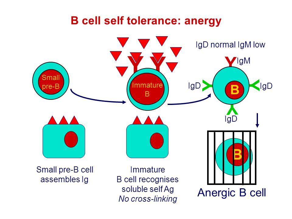 Y B cell self tolerance: anergy B Y Y Y B Anergic B cell IgD normal IgM low Immature B cell recognises soluble self Ag No cross-linking Y Y B Immature
