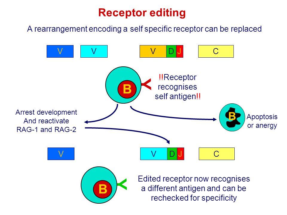 Receptor editing A rearrangement encoding a self specific receptor can be replaced VCDJ VVV Y B B !!Receptor recognises self antigen!! B Apoptosis or