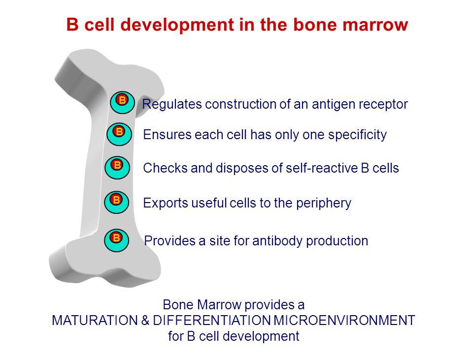 B cell development in the bone marrow B Regulates construction of an antigen receptor Bone Marrow provides a MATURATION & DIFFERENTIATION MICROENVIRON