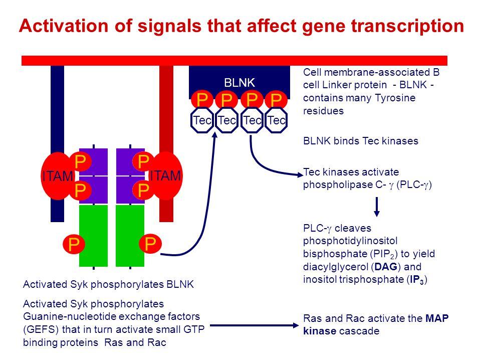 BLNK Cell membrane-associated B cell Linker protein - BLNK - contains many Tyrosine residues Activated Syk phosphorylates BLNK P P P P BLNK binds Tec