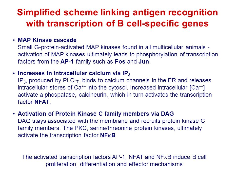 MAP Kinase cascade Small G-protein-activated MAP kinases found in all multicellular animals - activation of MAP kinases ultimately leads to phosphoryl