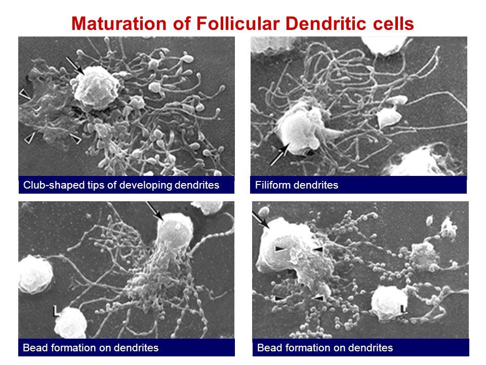 Maturation of Follicular Dendritic cells Club-shaped tips of developing dendritesFiliform dendrites Bead formation on dendrites