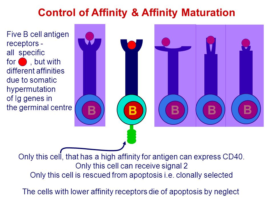 Control of Affinity & Affinity Maturation Five B cell antigen receptors - all specific for, but with different affinities due to somatic hypermutation
