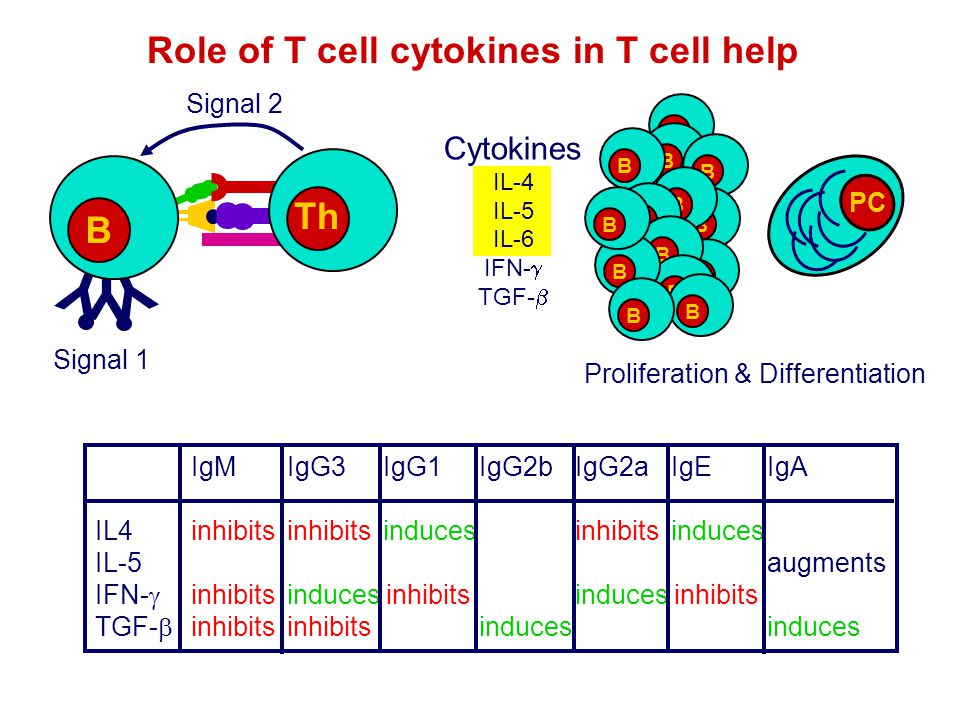 Role of T cell cytokines in T cell help Th Signal 2 Y Y Y B Signal 1 Cytokines IL-4 IL-5 IL-6 IFN-  TGF-  IgMIgG3IgG1IgG2b IgG2aIgEIgA IL4inhibitsin