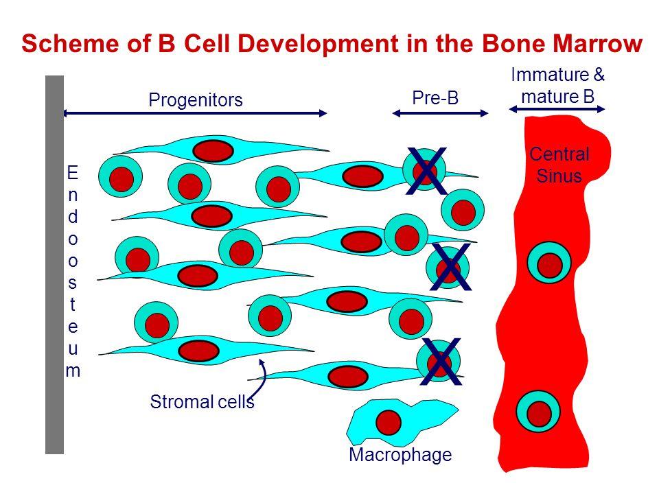 Immature & mature B Central Sinus Progenitors Pre-B Stromal cells X X X EndoosteumEndoosteum Macrophage Scheme of B Cell Development in the Bone Marro